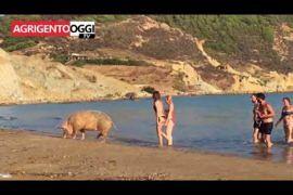 Un maiale nella spiagga di Realmonte